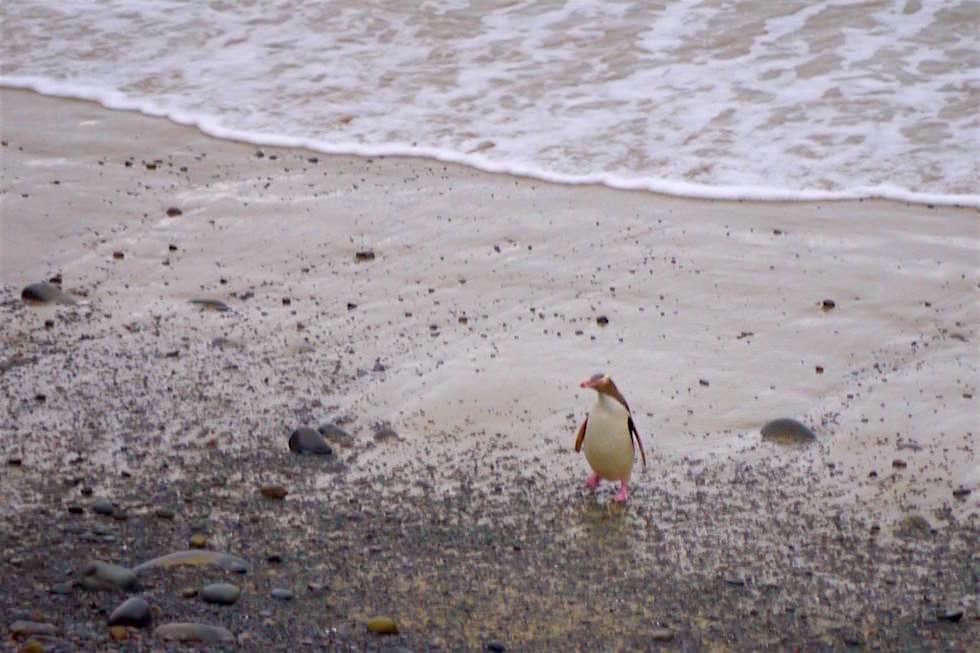 Gelbaugen-Pinguine - Roaring Bay - Neuseeland