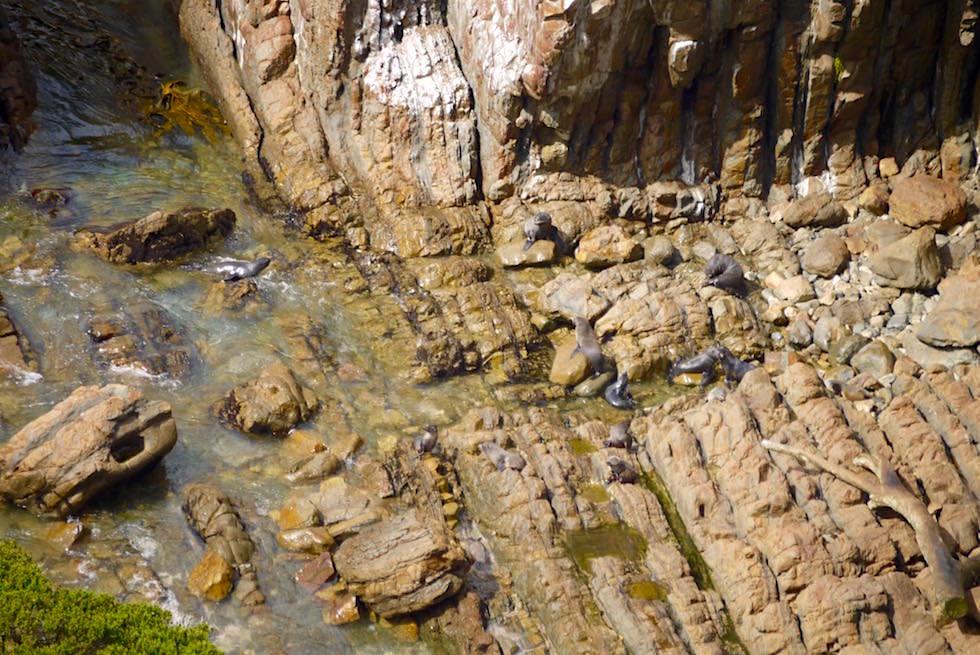 Seebären gehören zur Gattung der Ohrenrobben - Gesehen am Nugget Point - Neuseeland Südinsel