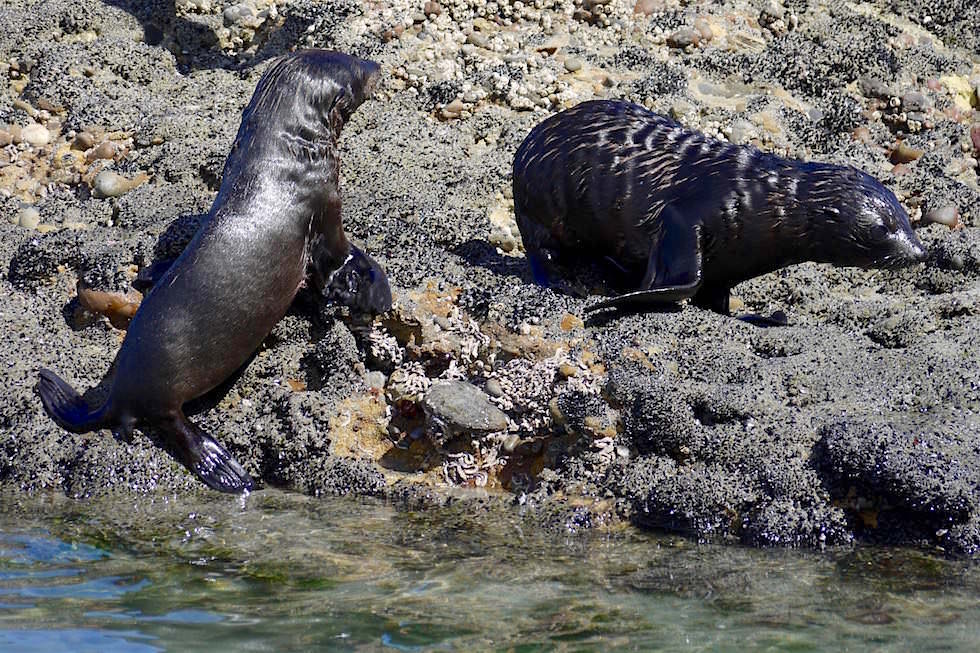 Seebären Baby - Wharariki Beach - Neuseeland
