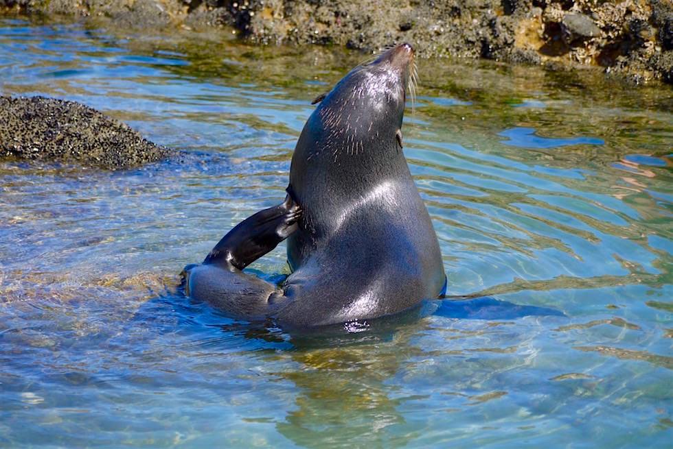 Neuseeländische Seebären - Wharariki Beach - Neuseeland Südinsel
