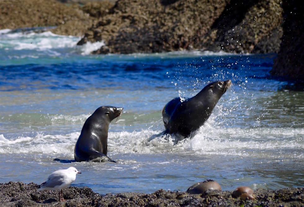 Planschende Robben - Wharariki Beach - Neuseeland Südinsel