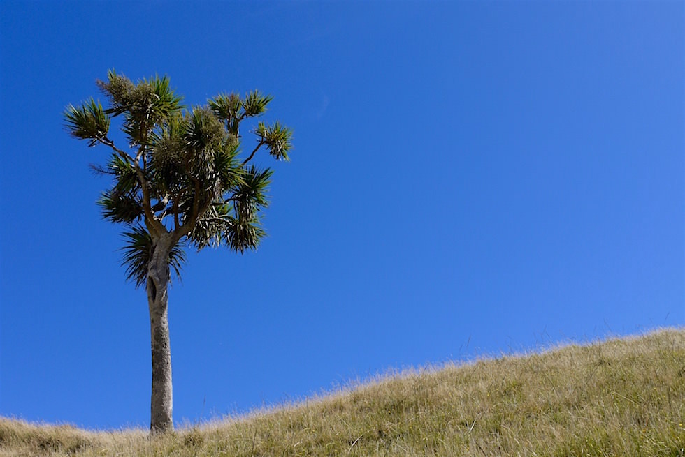 Palmen auf dem Weg zum Wharariki Beach - Neuseeland Südinsel