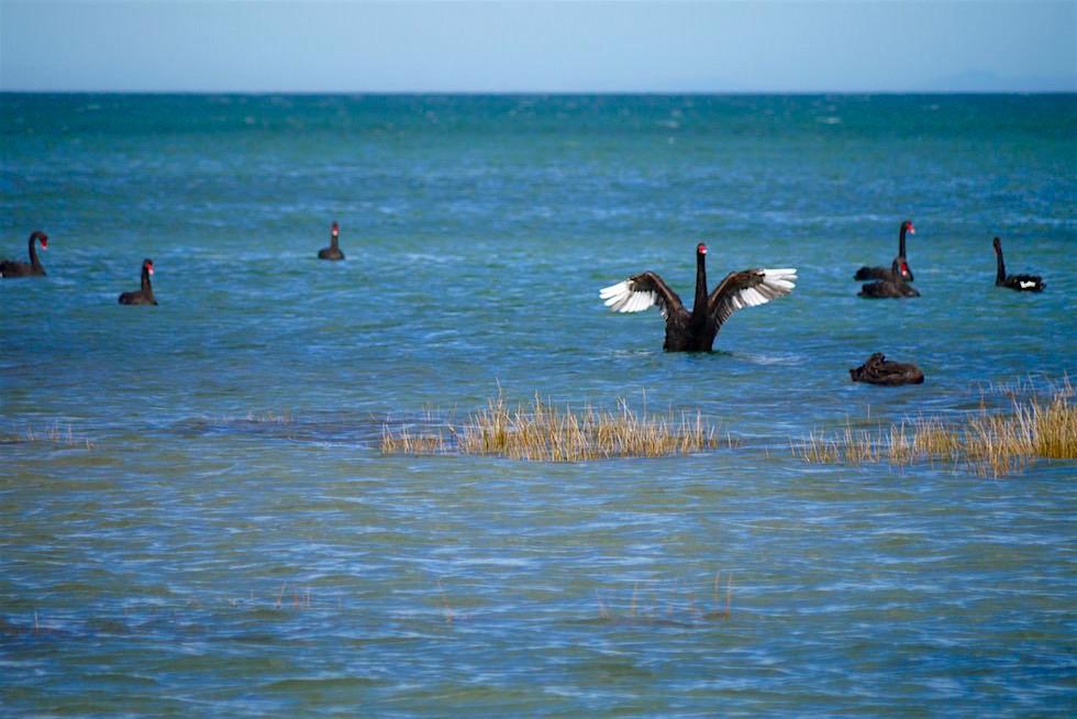 Schwarze Schwäne am Farewell Spit - Neuseeland Südinsel