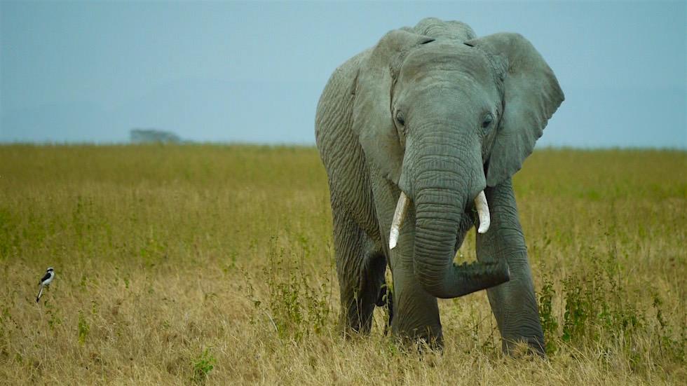 Afrikanischer Elefant im Serengeti Nationalpark im Norden Tanzanias