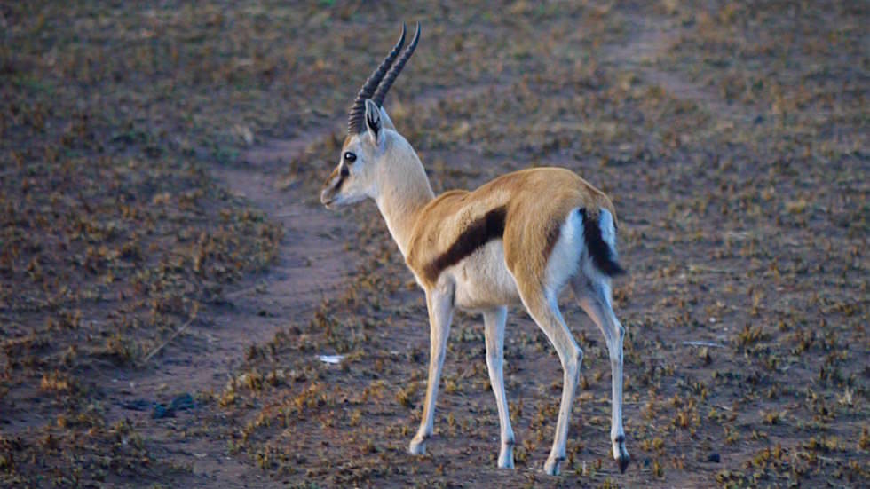 Junge Thomson Gazelle in der Serengeti - Tanzania - Afrika Safari
