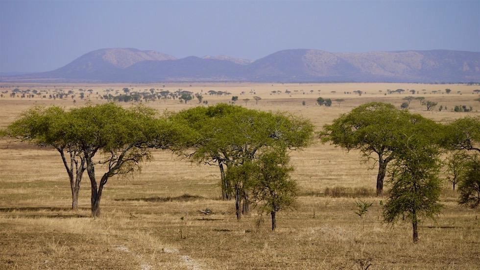Schirmakazie das Wahrzeichen Afrikas Savannen - Serengeti - Tanzania