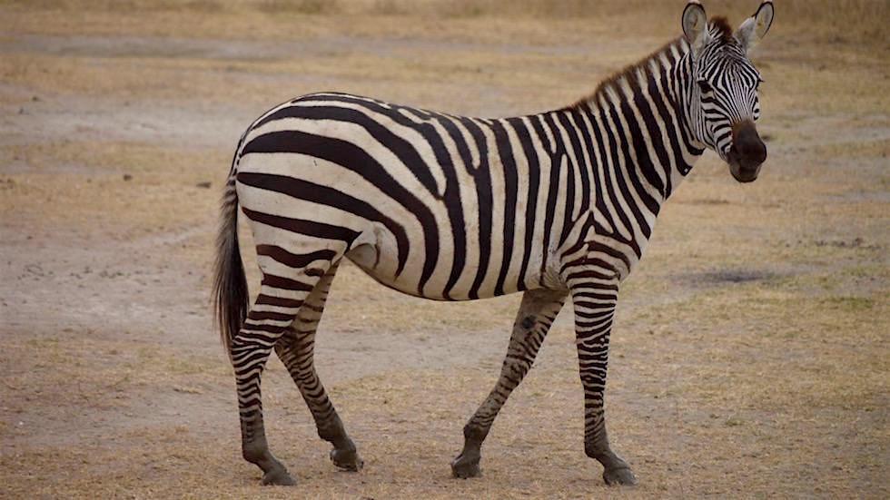 Steppenzebra im Serengeti National Park- Tanzania, Afrika