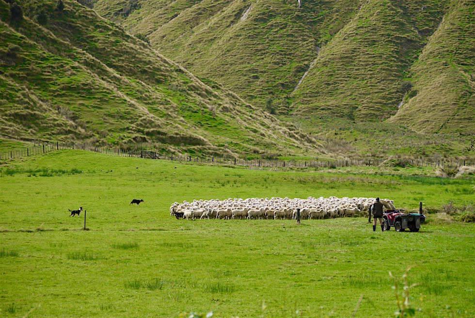 Hunde treiben Schafe zusammen - Mt Damper Falls - Forgotten World Highway - Neuseeland Nordinsel