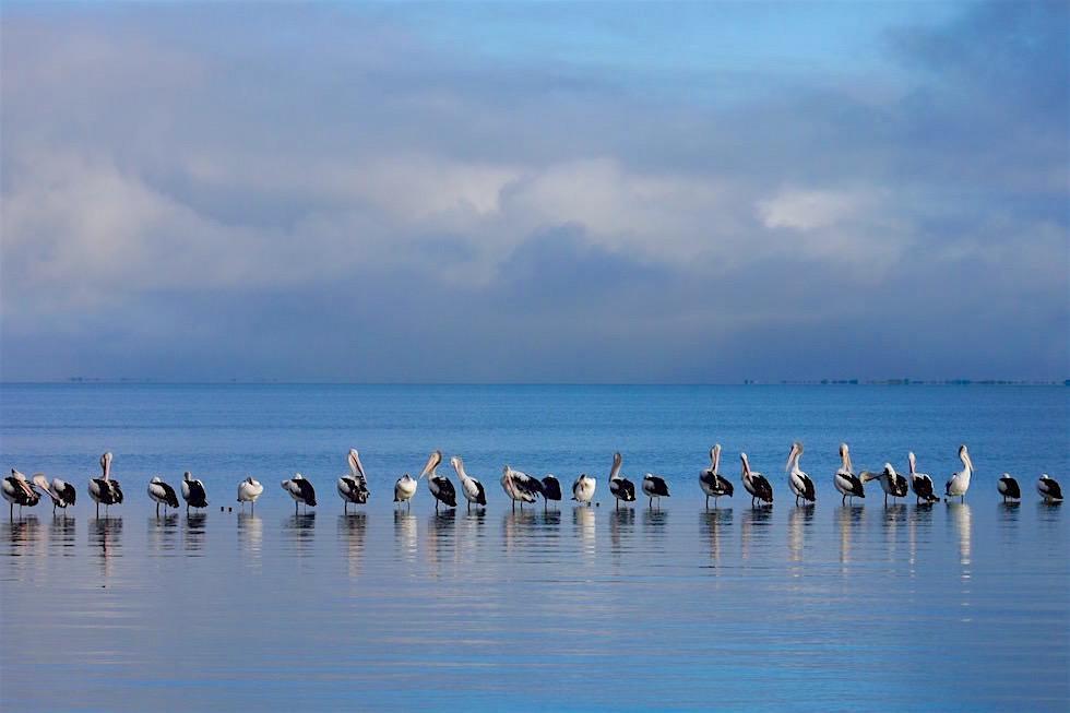Pelikane - Lake Meningie Caravan Park - South Australia