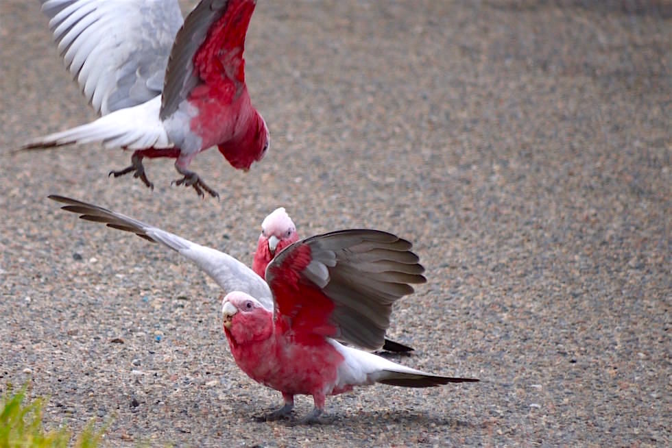 Galah - Rosakakadu - Narrung - South Australia