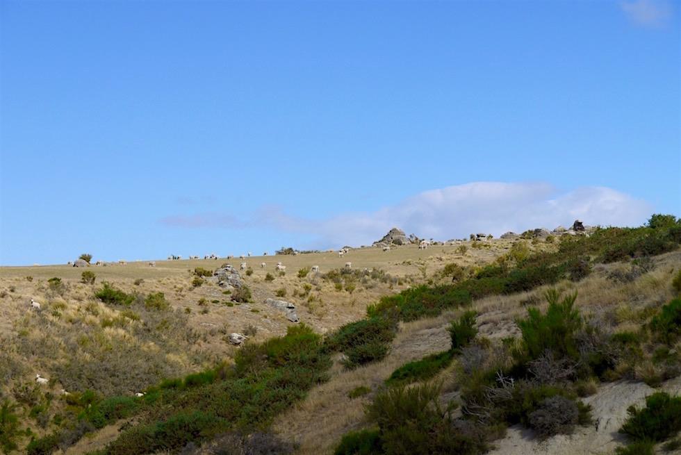 Schafe - Hochebene - Taieri Gorge Railway - Neuseeland