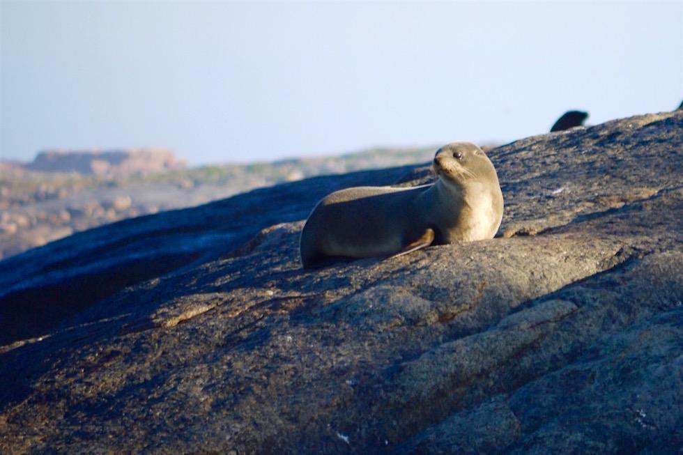 Australien Sea Lions - Neptun Island - South Australia