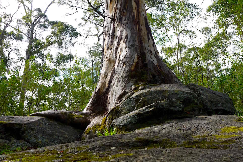 Die Enstehung des Tree in The Rock - Porongurup National Park - Western Australia