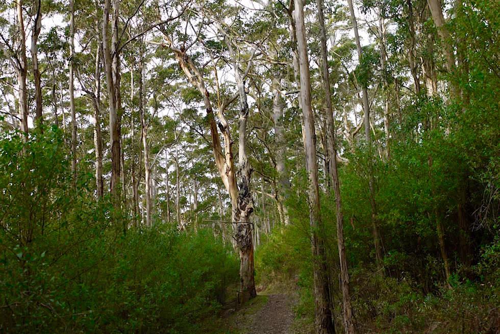Karri Bäume - Wansbrough Walk - Porongurup National Park - Western Australia