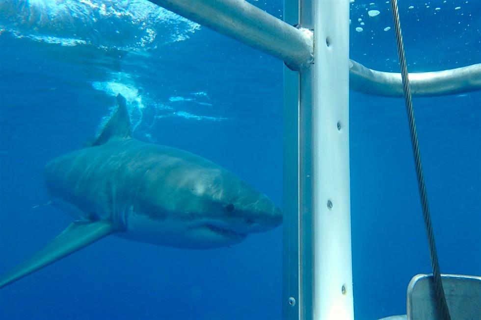 Weißer Hai nähert sich - Tauchen mit Weißen Haien - South Australia