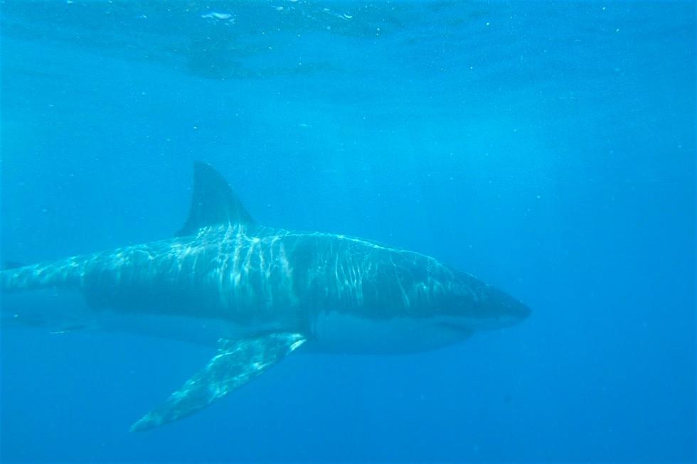 Tauchen mit Weißen Haien - Adventure Bay Charters - South Australia