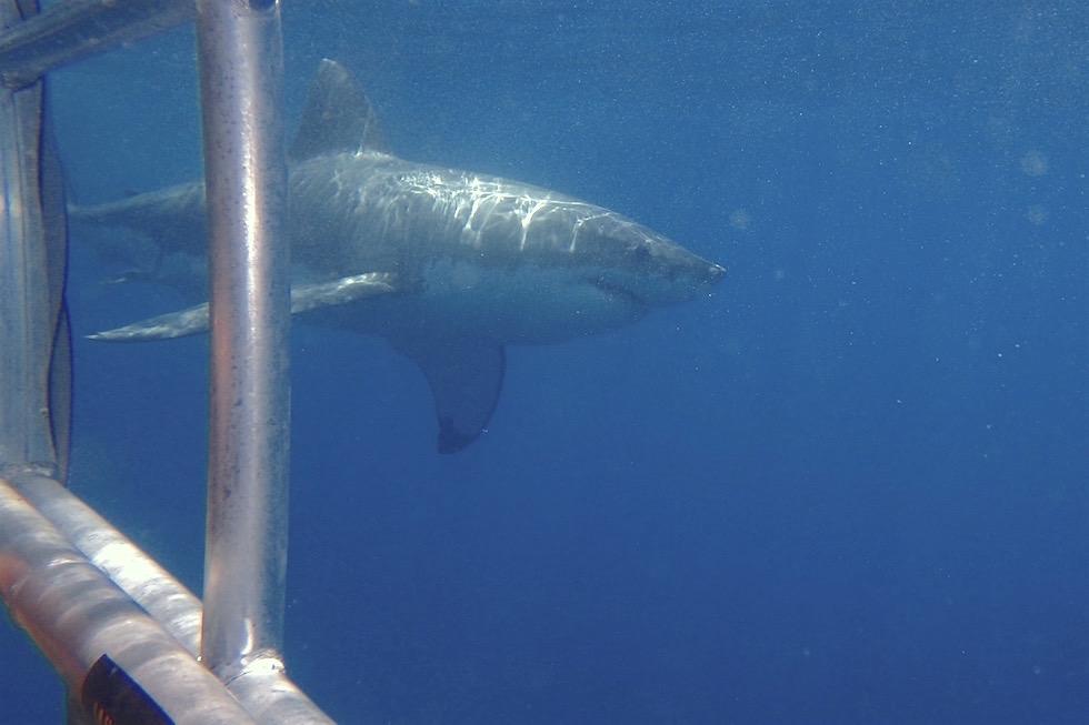 Käfig-Tauchen mit Weißen Haien - Adventure Bay Charters in Port Lincoln - South Australia
