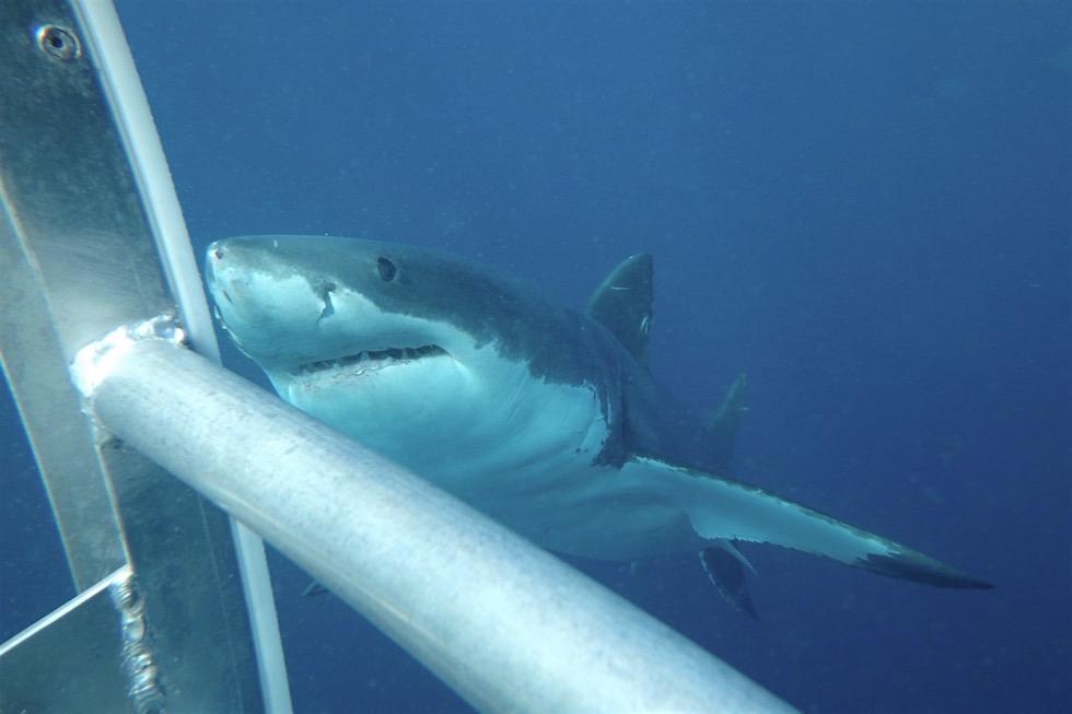 Tauchen mit Weißen Haien - Neptun Island - South Australia