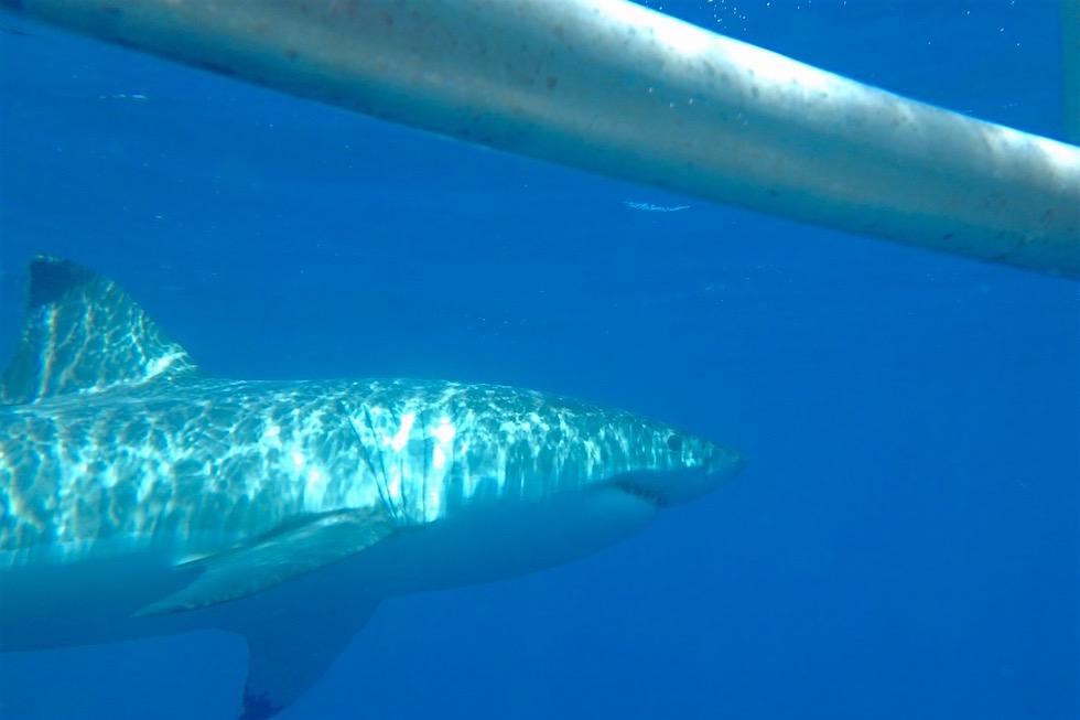 Tauchen mit Weißen Haien - Eyre Peninsula - Port Lincoln - South Australia