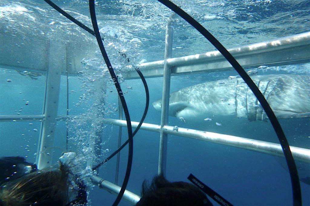 Käfig-Tauchen mit Weißen Haien auf Neptun Islands mit Adventure Bay Charters -Port Lincoln - South Australia