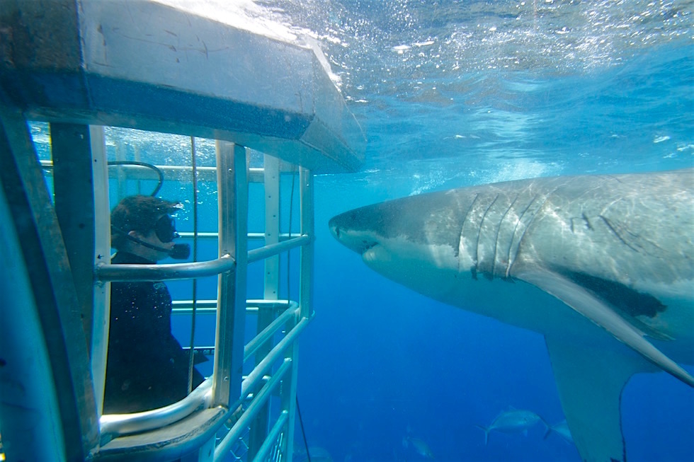Cage Diving with Great White Sharks - Tauchen mit Weißen Haien: respektvolle Tierbegegnungen mit Adventure Bay Charters - South Australia