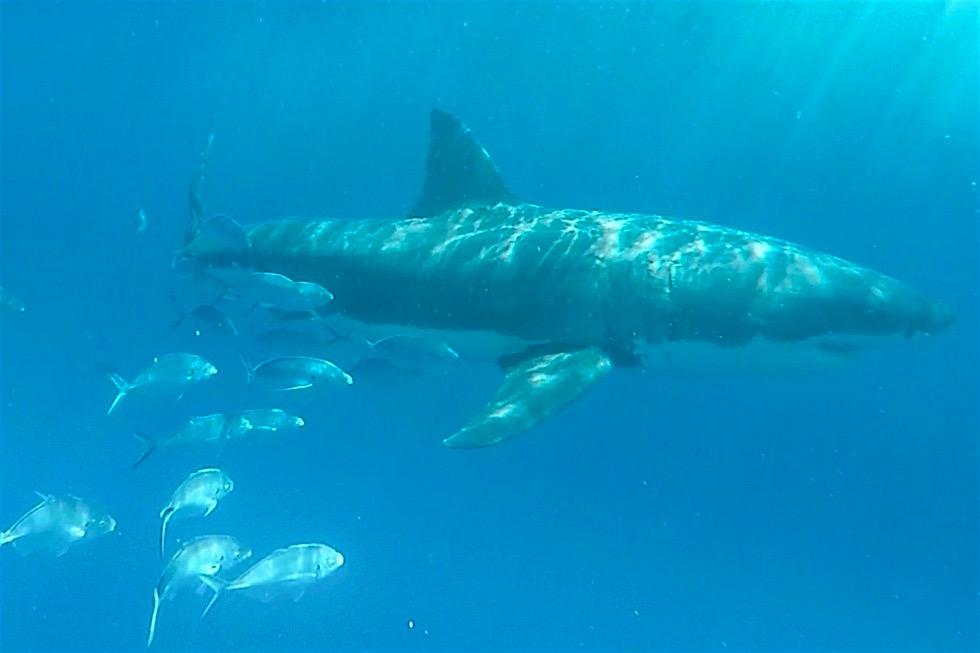Weißer Hai & Fischschwarm - Tauchen mit Weißen Haien - South Australia