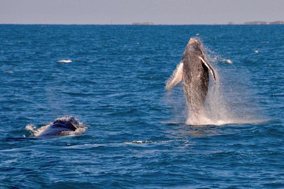Buckelwale beim Springen oder Bleaching - Finders Bay in Augusta - Western Australia