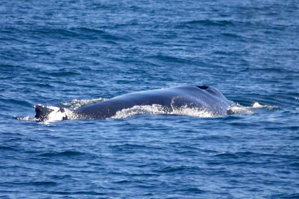 Muttertier Buckelwal - Wale beobachten in Augusta - Western Austalia