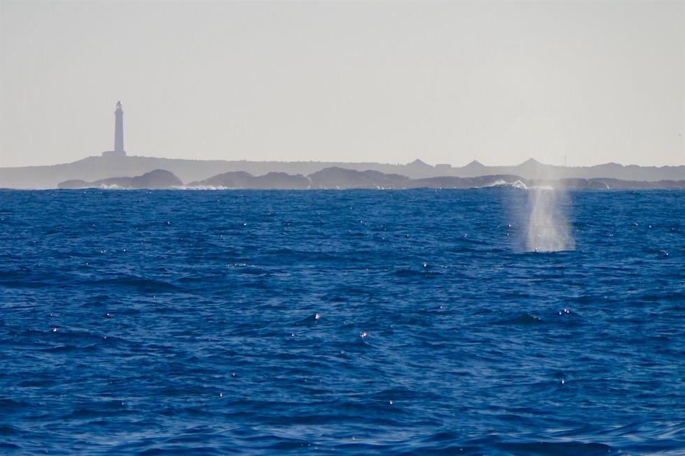 Buckelwal bei Cape Leeuwin Lighthouse - Augusta - Western Australia