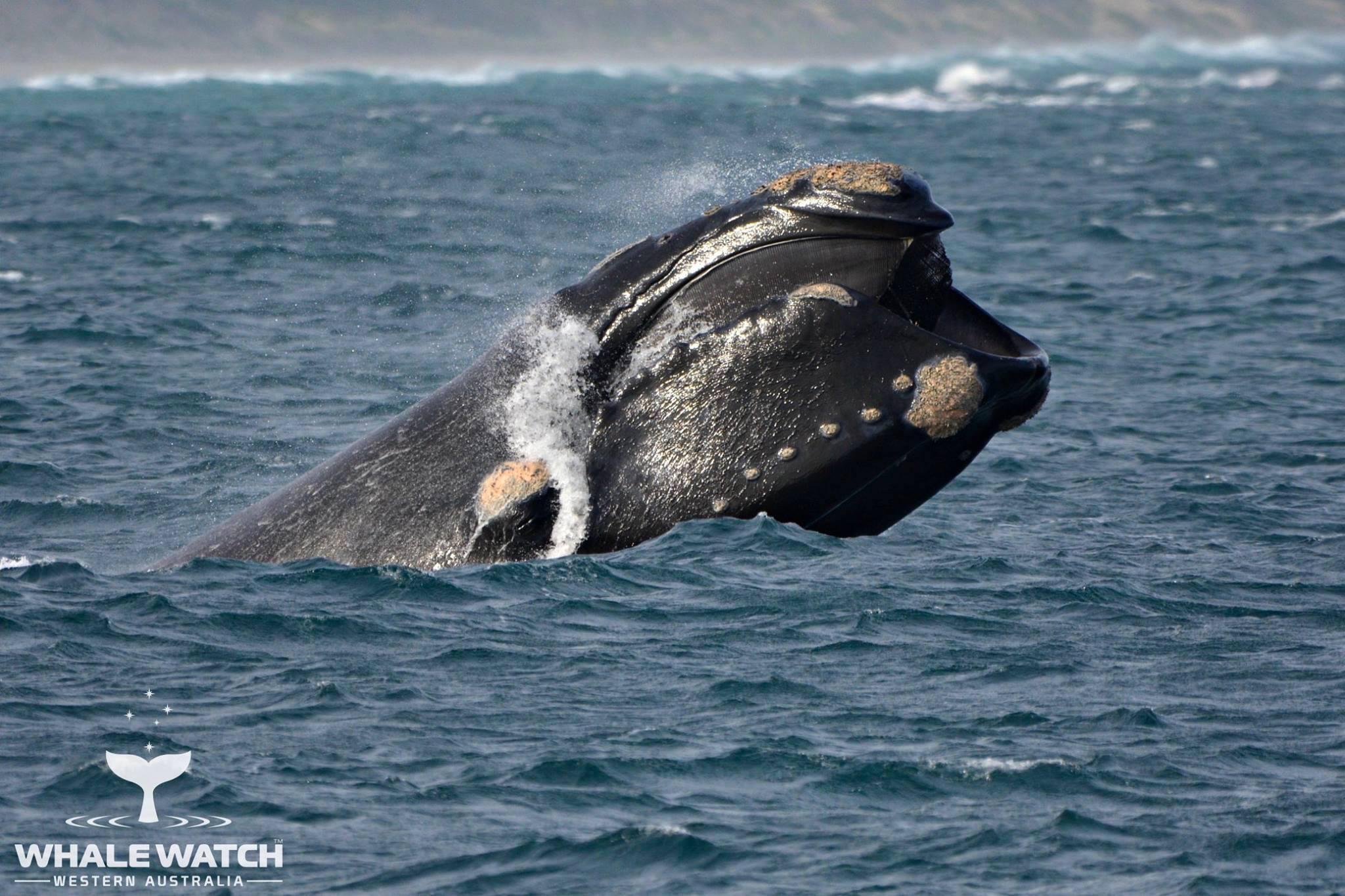 Southern Right Whale oder Südkaper Wale (Glattwale) - Flinders Bay, Augusta - Western Australia