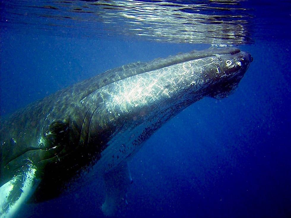 Buckelwal - Humpback Whale unter Wasser bei Augusta - Western Australia