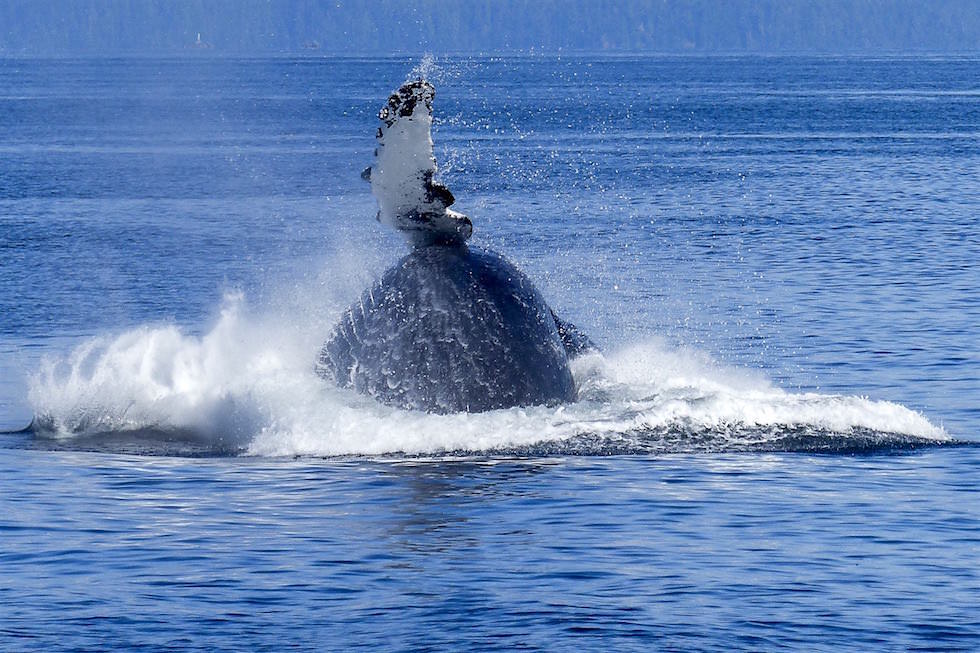 Buckelwal klatscht mit Flosse - Whale Watching Western Australia
