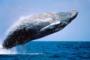 Faszination Buckelwale! – Wale beobachten in Augusta mit Whale Watch WA