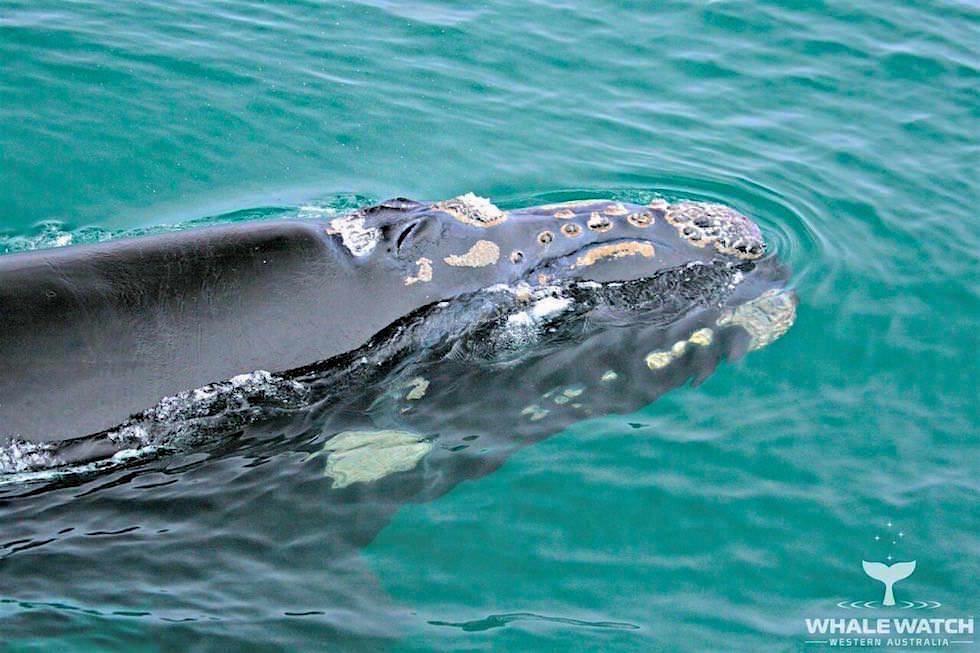 Kopf Buckelwal - Whale Watch Western Australia