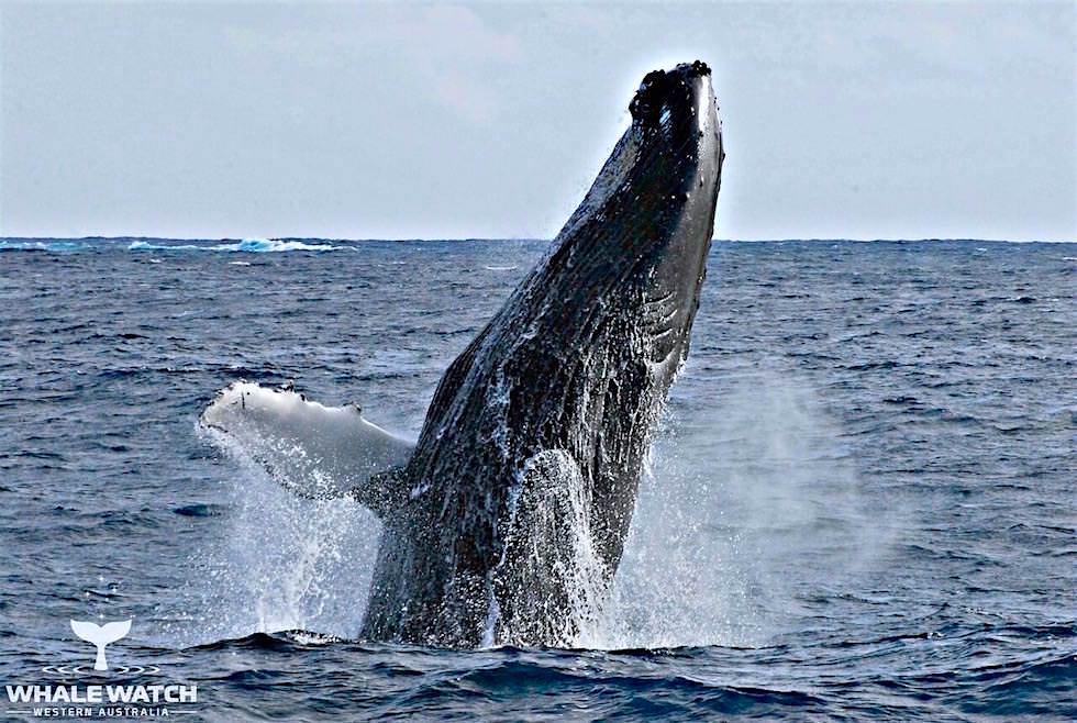 Buckelwale beobachten in Augusta - Whale Watch Western Australia