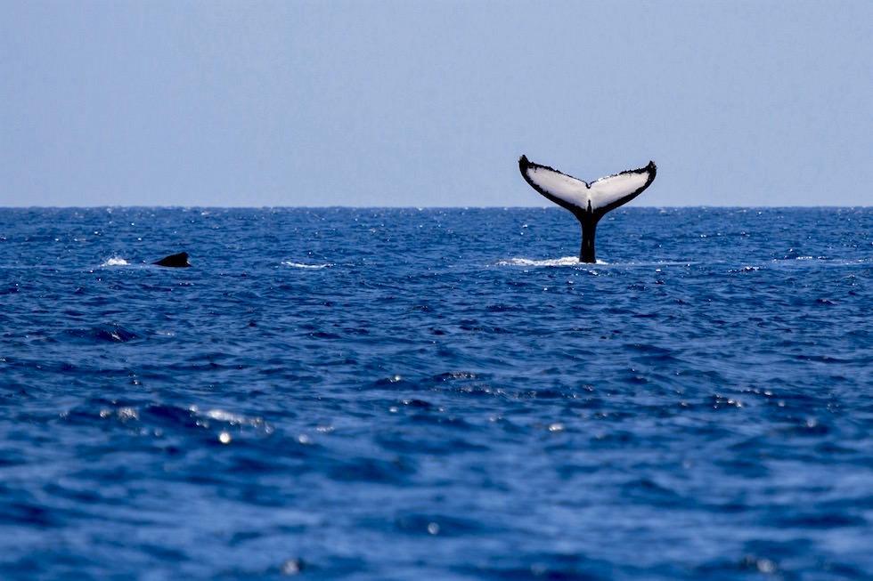 Buckelwal Schwanzflosse - Wale beobachten in Augusta - Western Australia