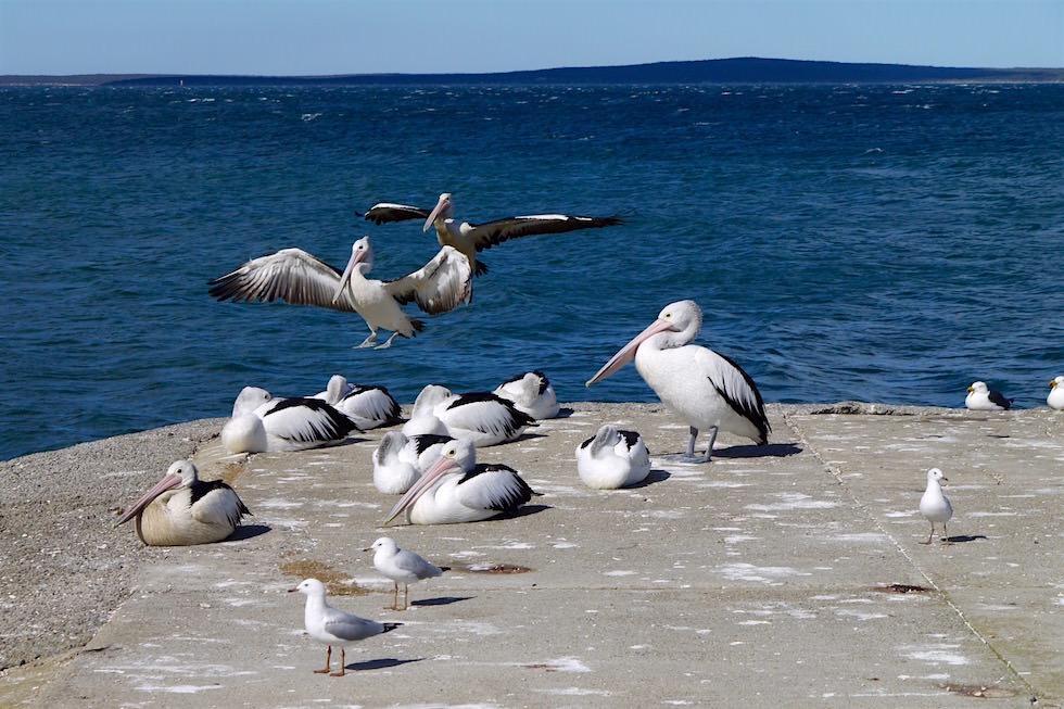 Landende Australische Riesen-Pelikane - Port Lincoln - South Australia
