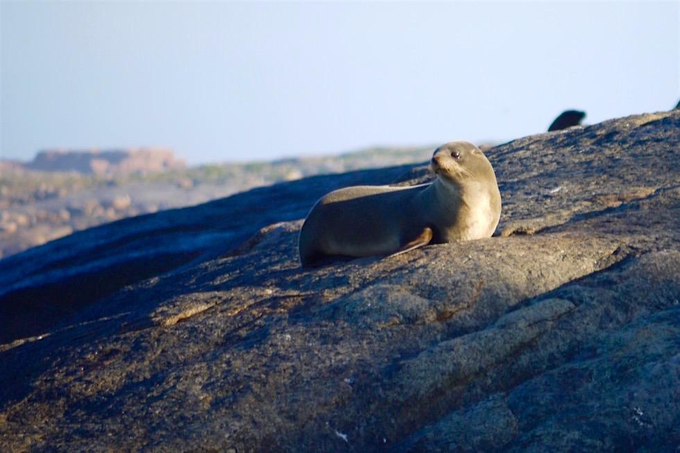 Australische Seelöwen Kuh - Eyre Peninsula - South Australia