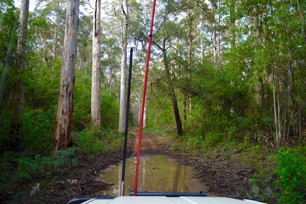 Karri Forest Pfad - Beach & Forest - Pemberton - Western Australia