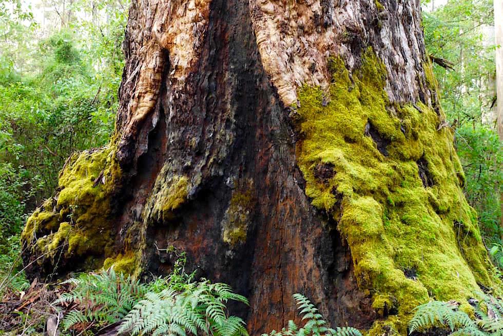 Wunderschöner, riesiger Karri Baum - Beach & Forest - Pemberton - Western Australia