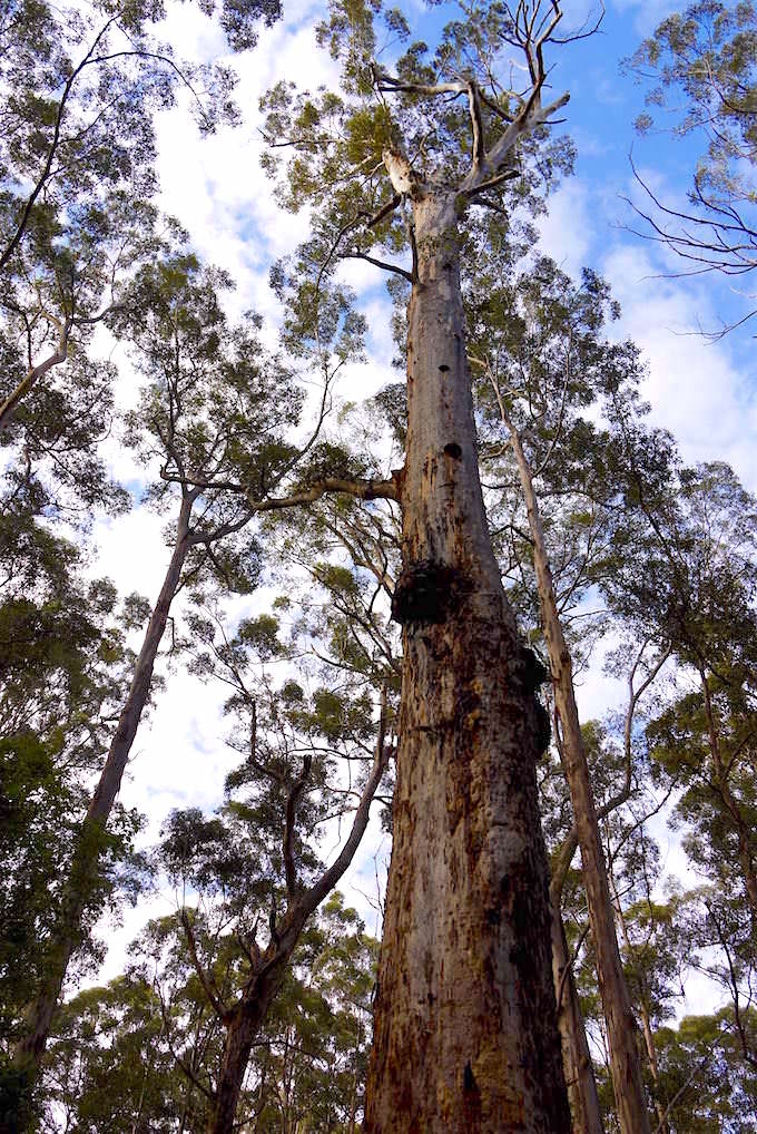 Karri Bäume - Beach & Forest - Pemberton - Western Australia