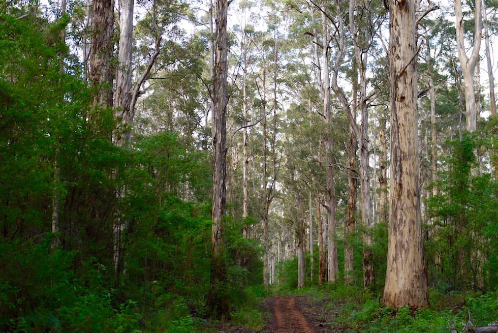 Enger Pfad Karri Wald - Beach & Forest Eco Adventure Tour - Pemberton - Western Australia