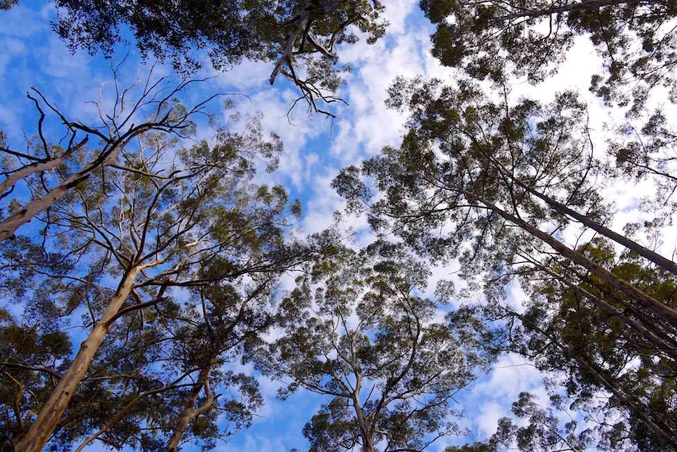 Karri Baumwipfel & Himmel - Pemberton - Western Australia