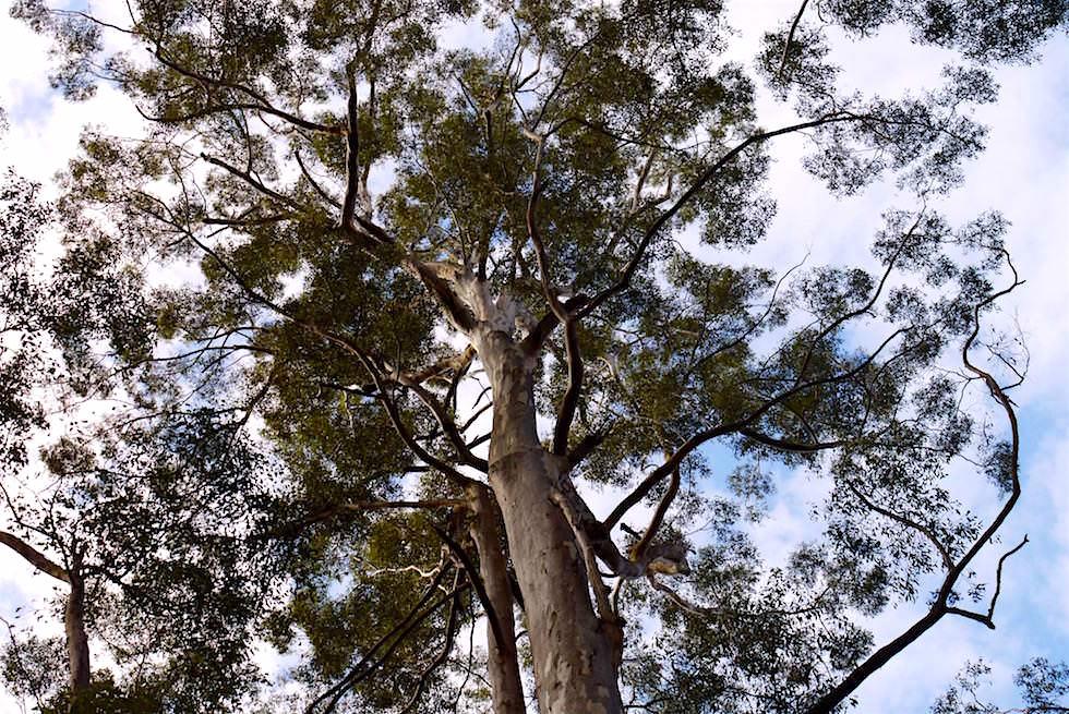 Karri Baumkrone - Warren NP - Pemberton - Western Australia
