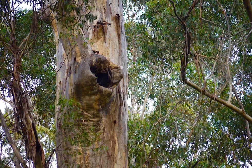 Großes Astloch Karri Baum - Beach & Forest - Western Australia