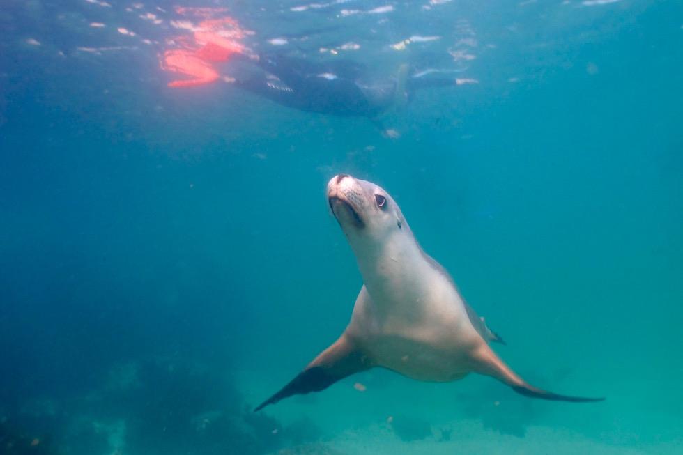 Schnorchel mit Australischen Seelöwen - Adventure Bay Charters Tour - South Australia