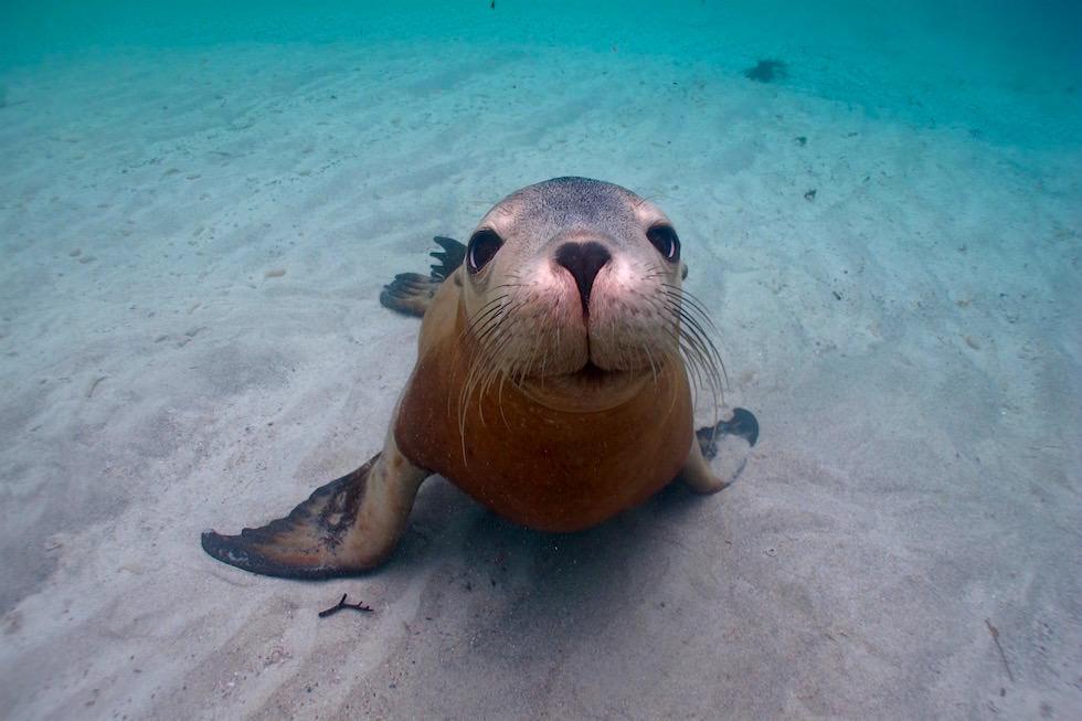 Schnorcheln mit Australischen Seelöwen eine Spaß-Tour mit Adventure Bay Charters - South Australia