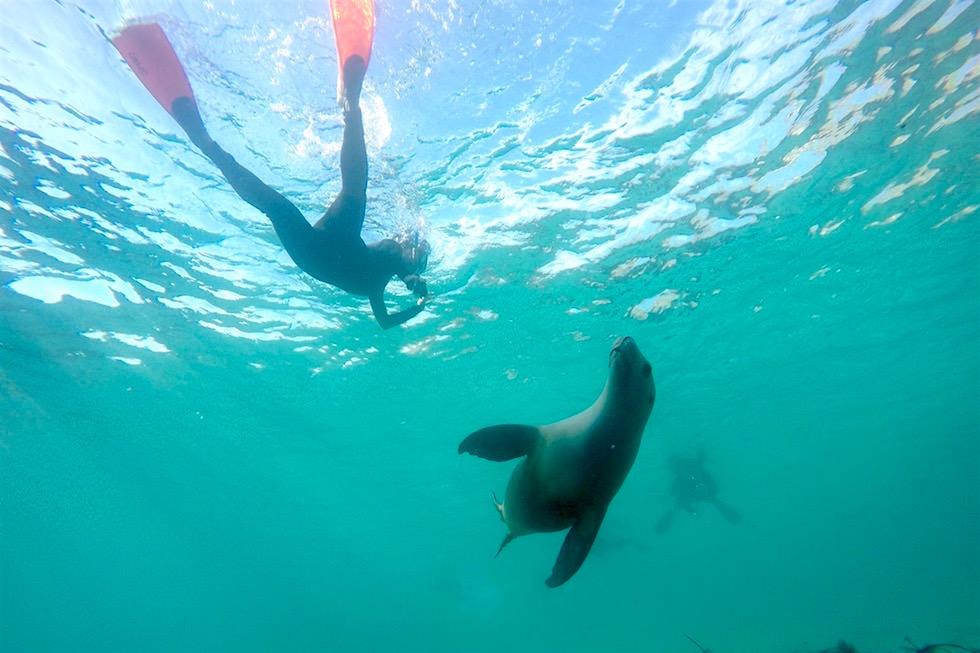 Schnorcheln mit Australischen Seelöwen - Respektvolle Tierbegegnungen mit Adventure Bay Charters - South Australia