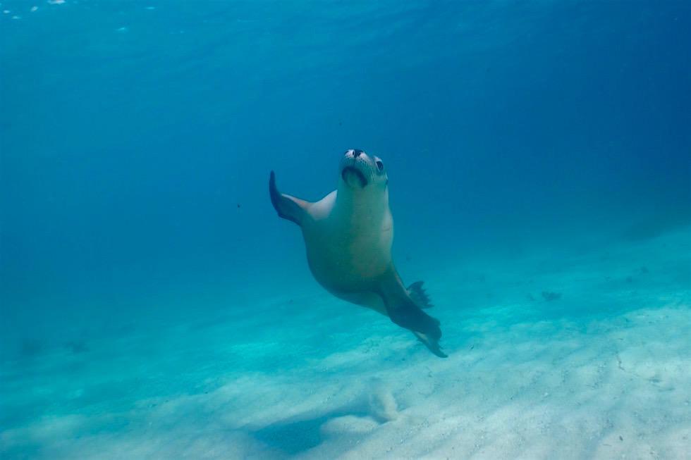 Schnelle, neugierige Schwimmer - Australische Seelöwen - Adventure Bay Charters - South Australia
