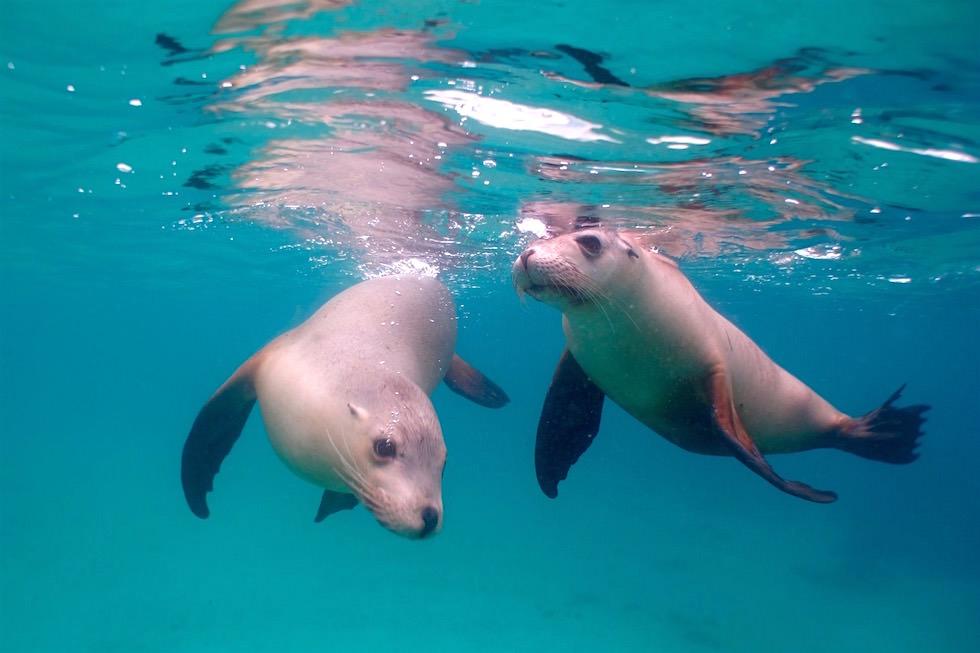 Spaß mit Verspielte Seelöwen - Adventure Bay Charters - South Australia
